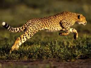 cheetah-jump_493_990x742
