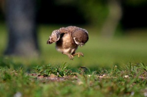 baby-owl-learning-to-fly-peter-brannon